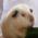 Pohlaví morčat